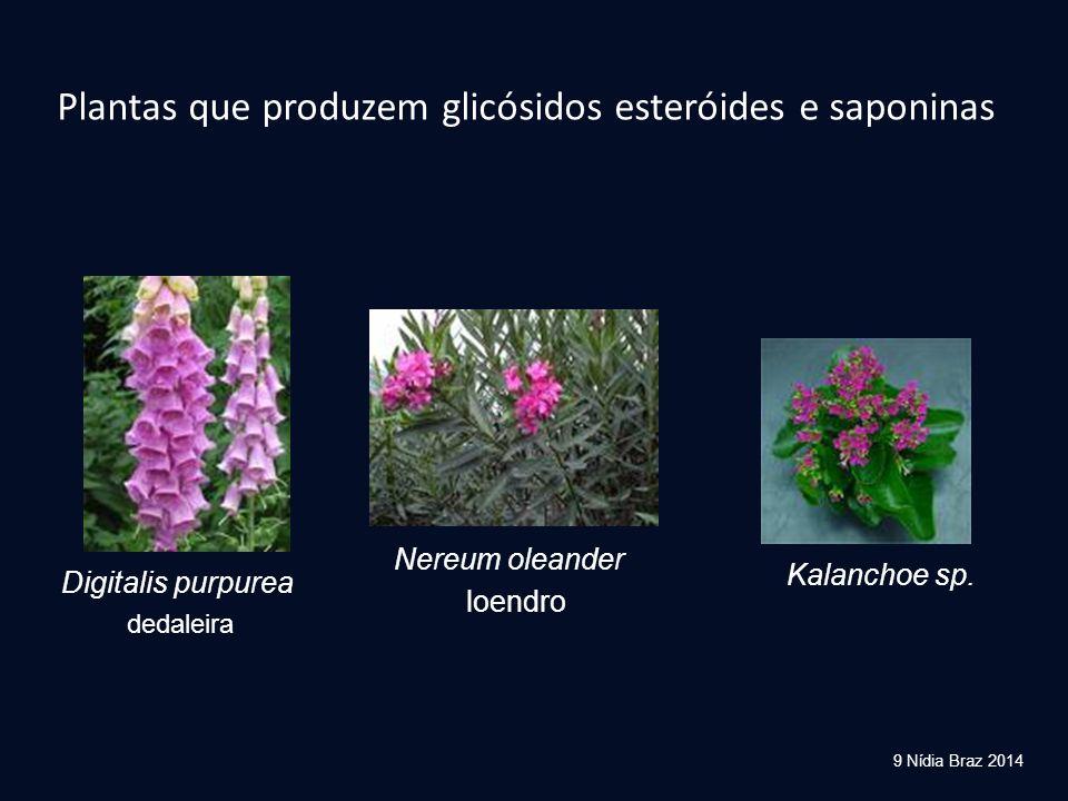 Plantas que produzem glicósidos esteróides e saponinas Digitalis purpurea loendro Kalanchoe sp. 9 Nídia Braz 2014 dedaleira Nereum oleander