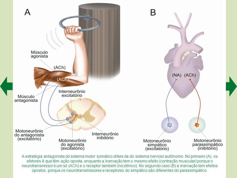Quando os fisiologistas estimulam um nervo parassimpático (A) registram diminuição da frequência de potenciais de ação nas fibras musculares cardíacas