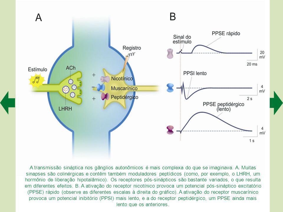A estratégia antagonista do sistema motor somático difere da do sistema nervoso autônomo. No primeiro (A), os efetores é que têm ação oposta, enquanto