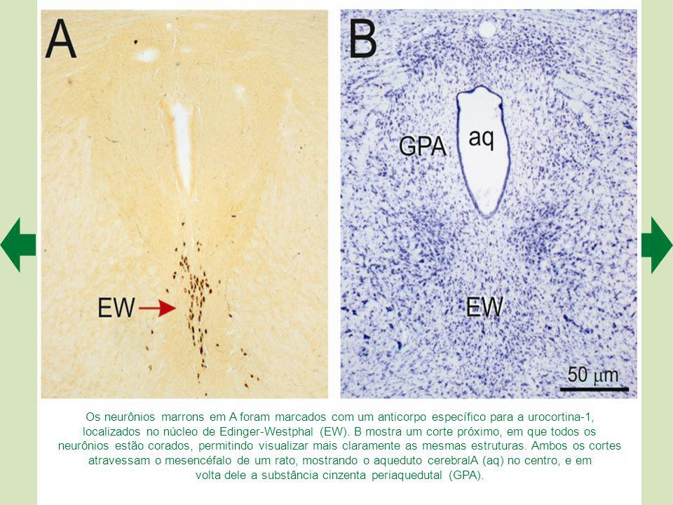 A transmissão sináptica nos gânglios autonômicos é mais complexa do que se imaginava. A. Muitas sinapses são colinérgicas e contêm também moduladores