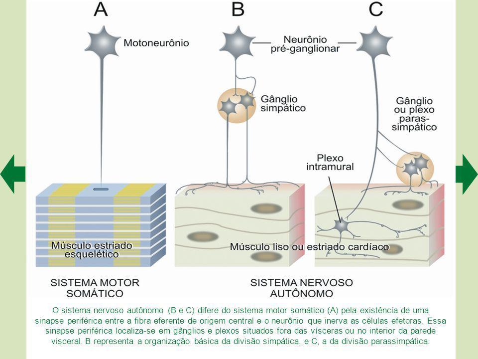 O sistema nervoso autônomo (B e C) difere do sistema motor somático (A) pela existência de uma sinapse periférica entre a fibra eferente de origem central e o neurônio que inerva as células efetoras.