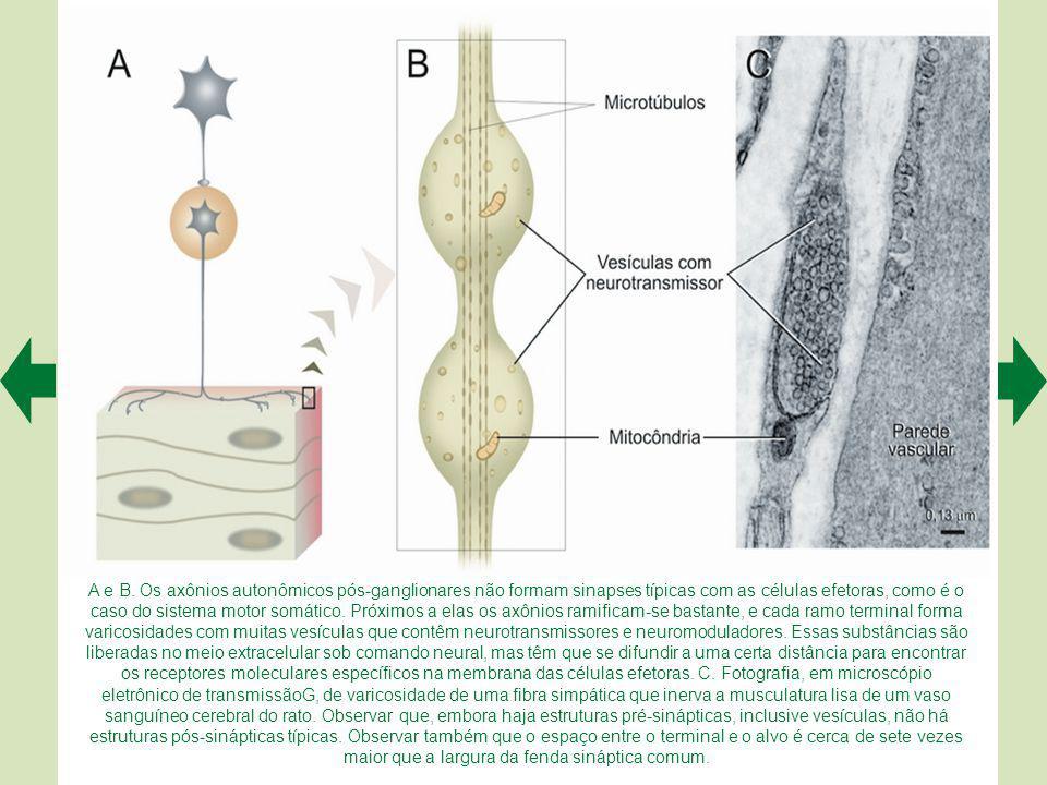O sistema nervoso autônomo (B e C) difere do sistema motor somático (A) pela existência de uma sinapse periférica entre a fibra eferente de origem cen