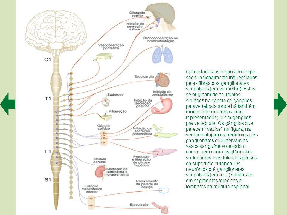 Quase todos os órgãos do corpo são funcionalmente influenciados pelas fibras pós-ganglionares simpáticas (em vermelho).