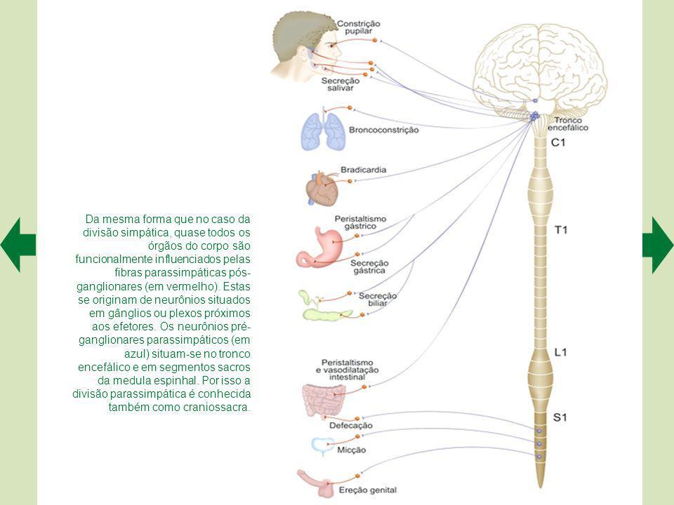 Da mesma forma que no caso da divisão simpática, quase todos os órgãos do corpo são funcionalmente influenciados pelas fibras parassimpáticas pós- ganglionares (em vermelho).