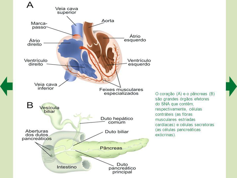 Para muitos neurobiólogos, a rede de neurônios dos plexos intramurais das vísceras digestórias é tão complexa que merece ser considerada uma terceira