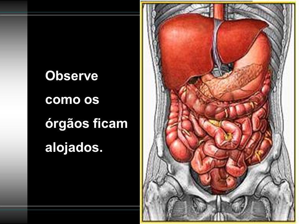 Observe como os órgãos ficam alojados.