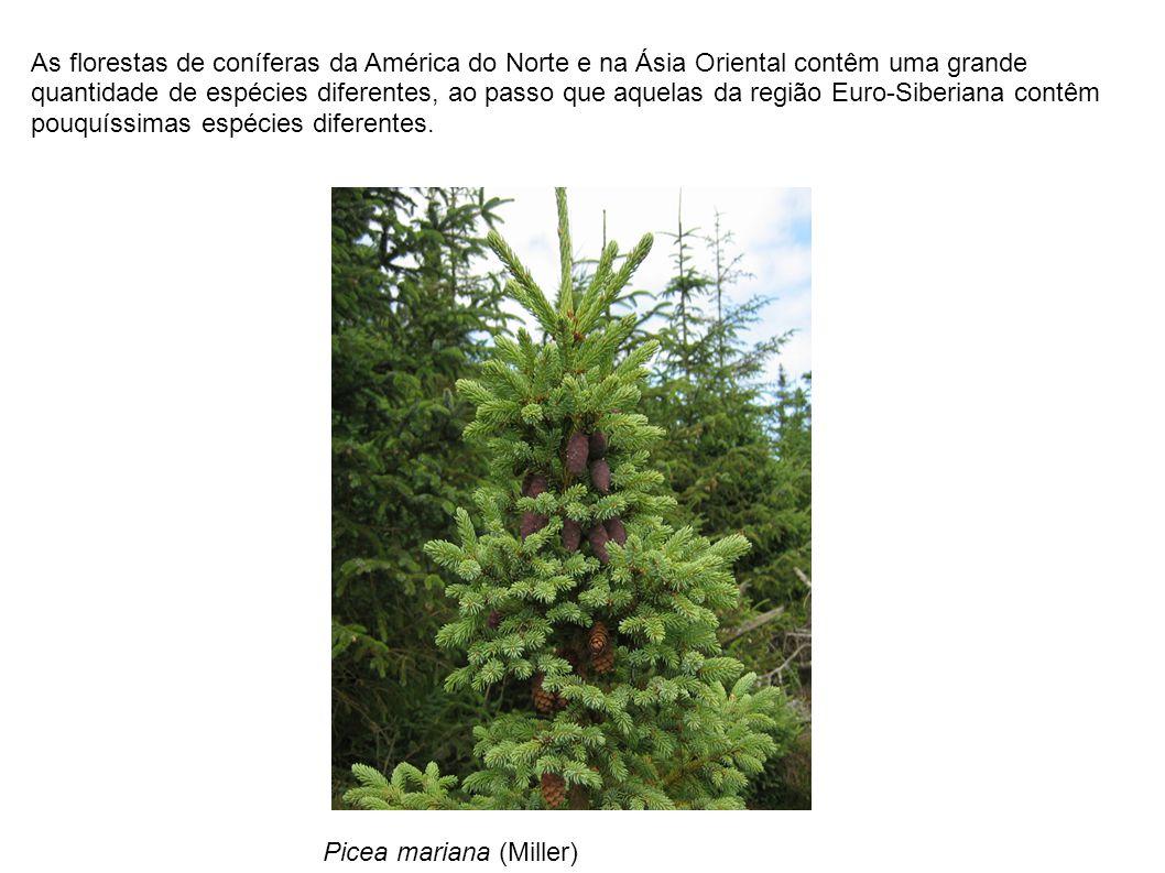 As florestas de coníferas da América do Norte e na Ásia Oriental contêm uma grande quantidade de espécies diferentes, ao passo que aquelas da região E
