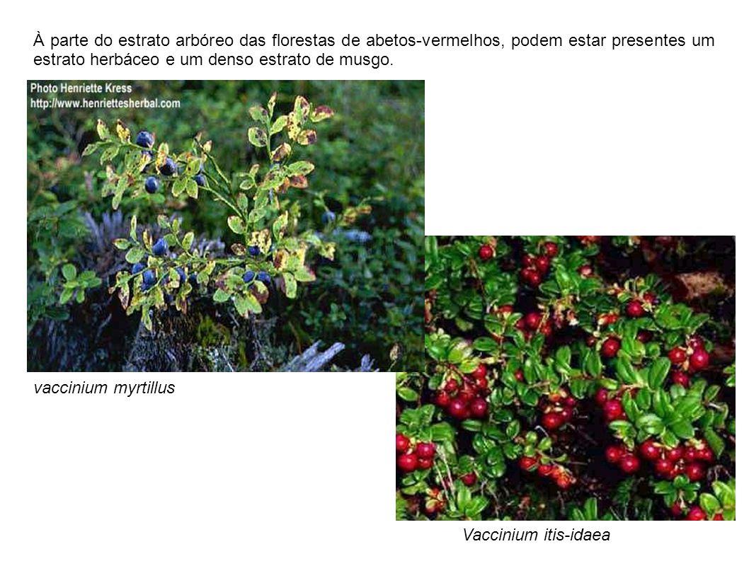 À parte do estrato arbóreo das florestas de abetos-vermelhos, podem estar presentes um estrato herbáceo e um denso estrato de musgo. Vaccinium itis-id