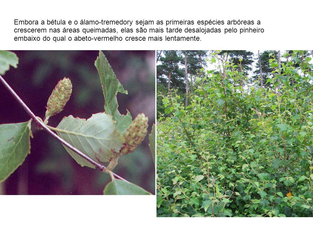Embora a bétula e o álamo-tremedory sejam as primeiras espécies arbóreas a crescerem nas áreas queimadas, elas são mais tarde desalojadas pelo pinheir
