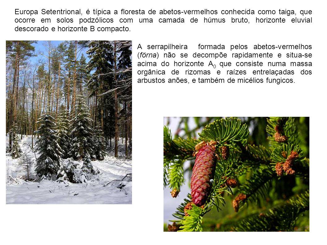 Europa Setentrional, é típica a floresta de abetos-vermelhos conhecida como taiga, que ocorre em solos podzólicos com uma camada de húmus bruto, horiz