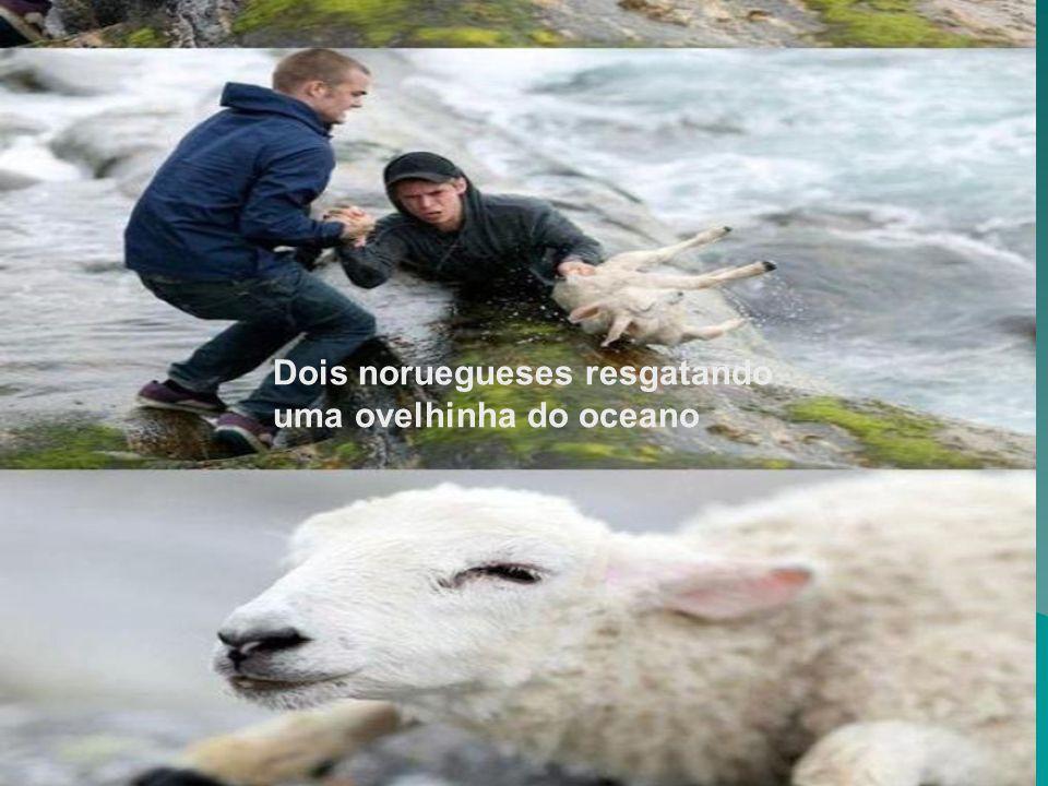 Dois noruegueses resgatando uma ovelhinha do oceano