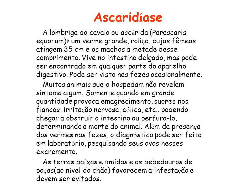 Ascarid í ase A lombriga do cavalo ou asc á rida (Parascaris equorum) é um verme grande, roli ç o, cujas fêmeas atingem 35 cm e os machos a metade des