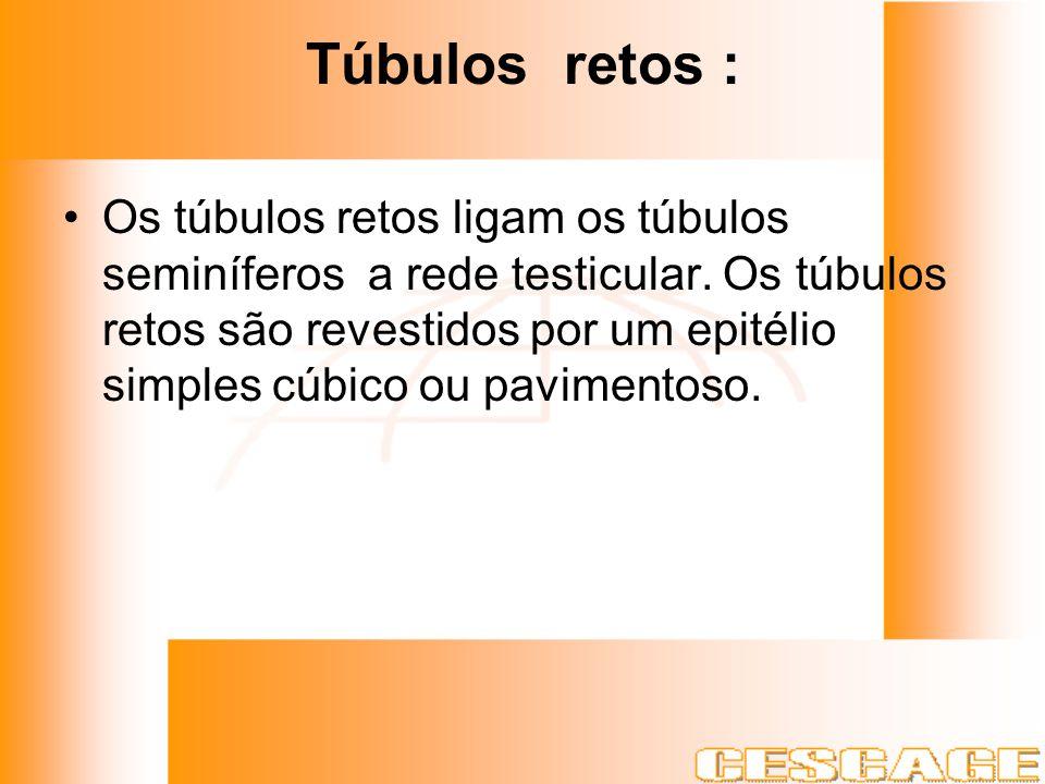 Túbulos retos : Os túbulos retos ligam os túbulos seminíferos a rede testicular. Os túbulos retos são revestidos por um epitélio simples cúbico ou pav