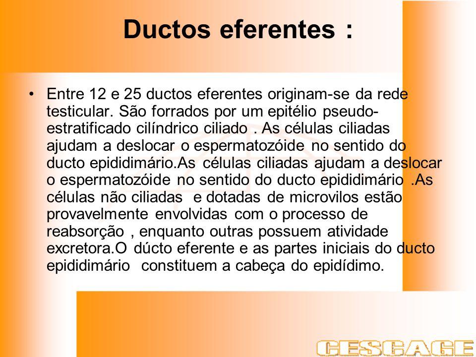Ductos eferentes : Entre 12 e 25 ductos eferentes originam-se da rede testicular. São forrados por um epitélio pseudo- estratificado cilíndrico ciliad