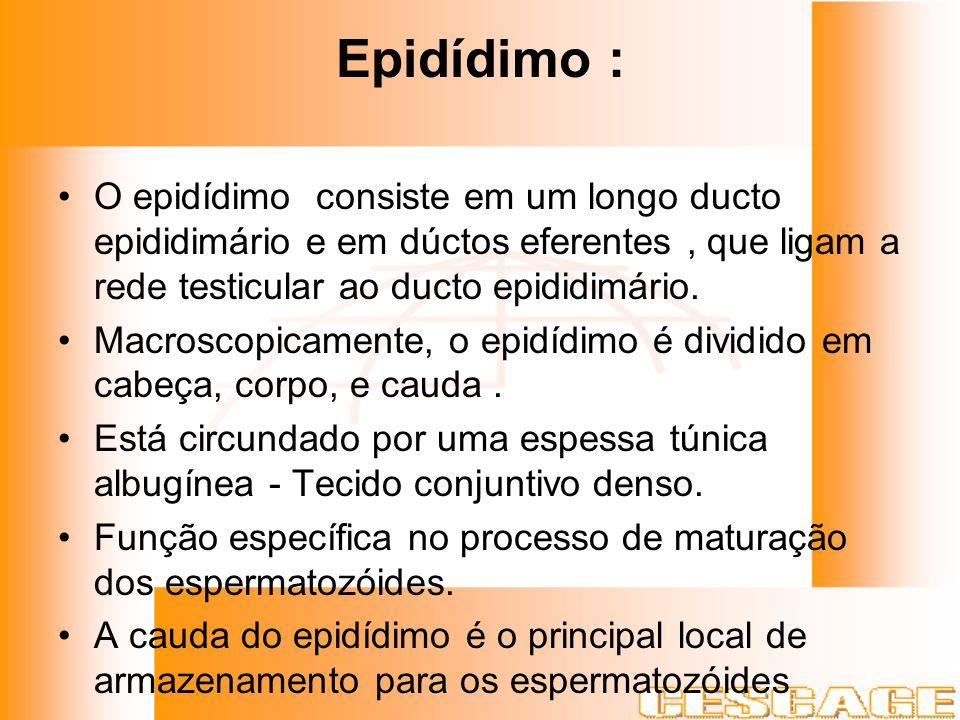 Epidídimo : O epidídimo consiste em um longo ducto epididimário e em dúctos eferentes, que ligam a rede testicular ao ducto epididimário. Macroscopica