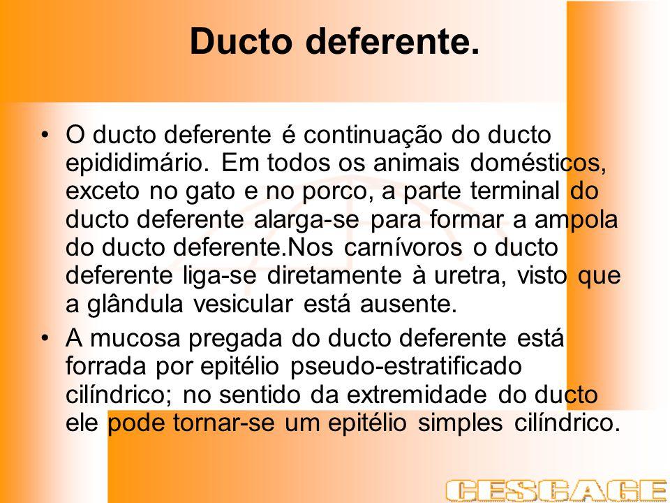 Ducto deferente. O ducto deferente é continuação do ducto epididimário. Em todos os animais domésticos, exceto no gato e no porco, a parte terminal do