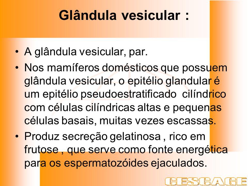 Glândula vesicular : A glândula vesicular, par. Nos mamíferos domésticos que possuem glândula vesicular, o epitélio glandular é um epitélio pseudoestr