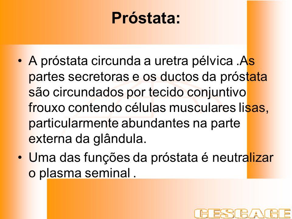 Próstata: A próstata circunda a uretra pélvica.As partes secretoras e os ductos da próstata são circundados por tecido conjuntivo frouxo contendo célu