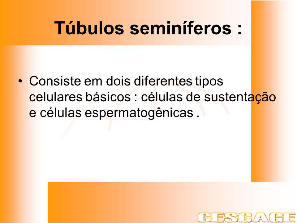 Túbulos seminíferos : Consiste em dois diferentes tipos celulares básicos : células de sustentação e células espermatogênicas.