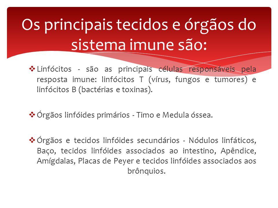  Linfócitos - são as principais células responsáveis pela resposta imune: linfócitos T (vírus, fungos e tumores) e linfócitos B (bactérias e toxinas)
