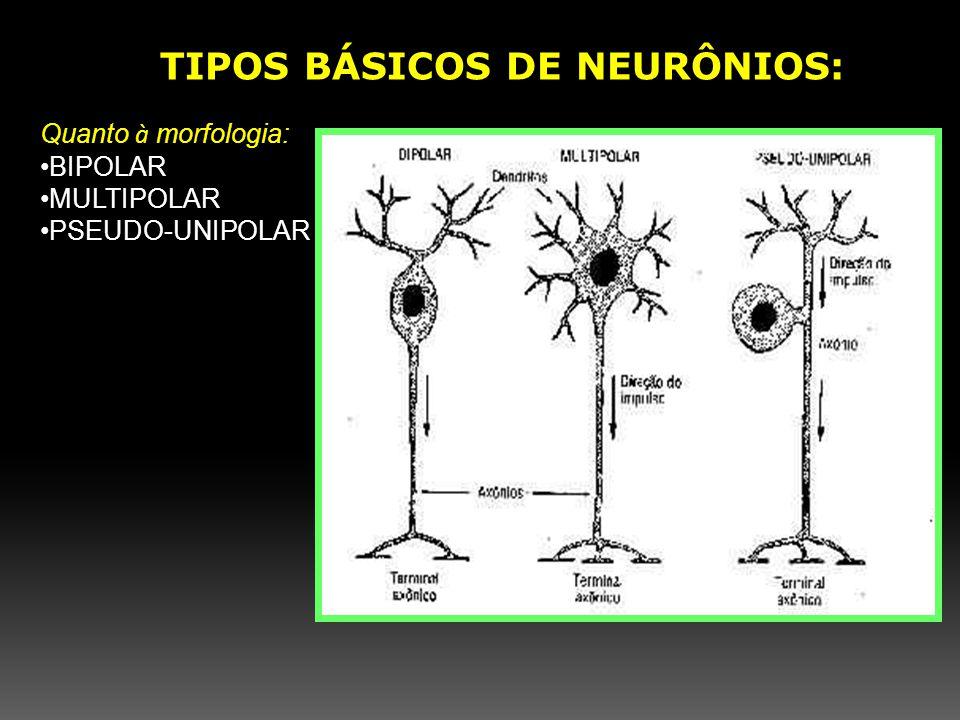 Quanto à morfologia: BIPOLAR MULTIPOLAR PSEUDO-UNIPOLAR TIPOS BÁSICOS DE NEURÔNIOS: