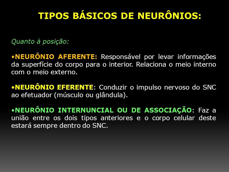 Quanto à posição: NEURÔNIO AFERENTE: Responsável por levar informações da superfície do corpo para o interior. Relaciona o meio interno com o meio ext