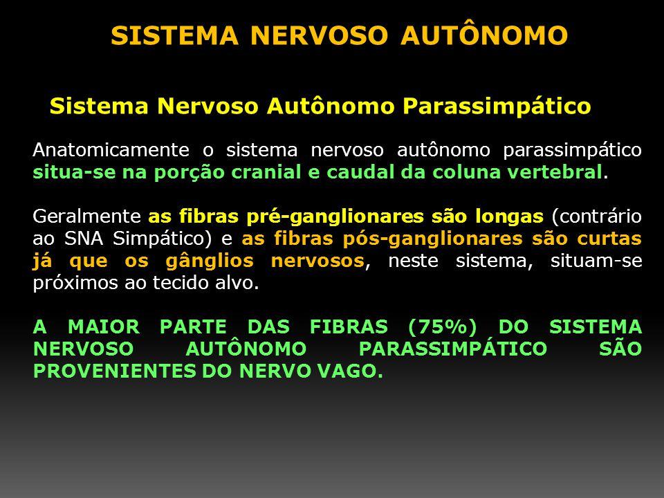 Anatomicamente o sistema nervoso autônomo parassimpático situa-se na porção cranial e caudal da coluna vertebral. Geralmente as fibras pré-ganglionare