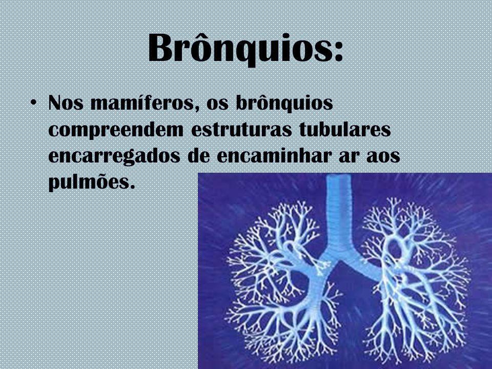 Brônquios: Nos mamíferos, os brônquios compreendem estruturas tubulares encarregados de encaminhar ar aos pulmões.