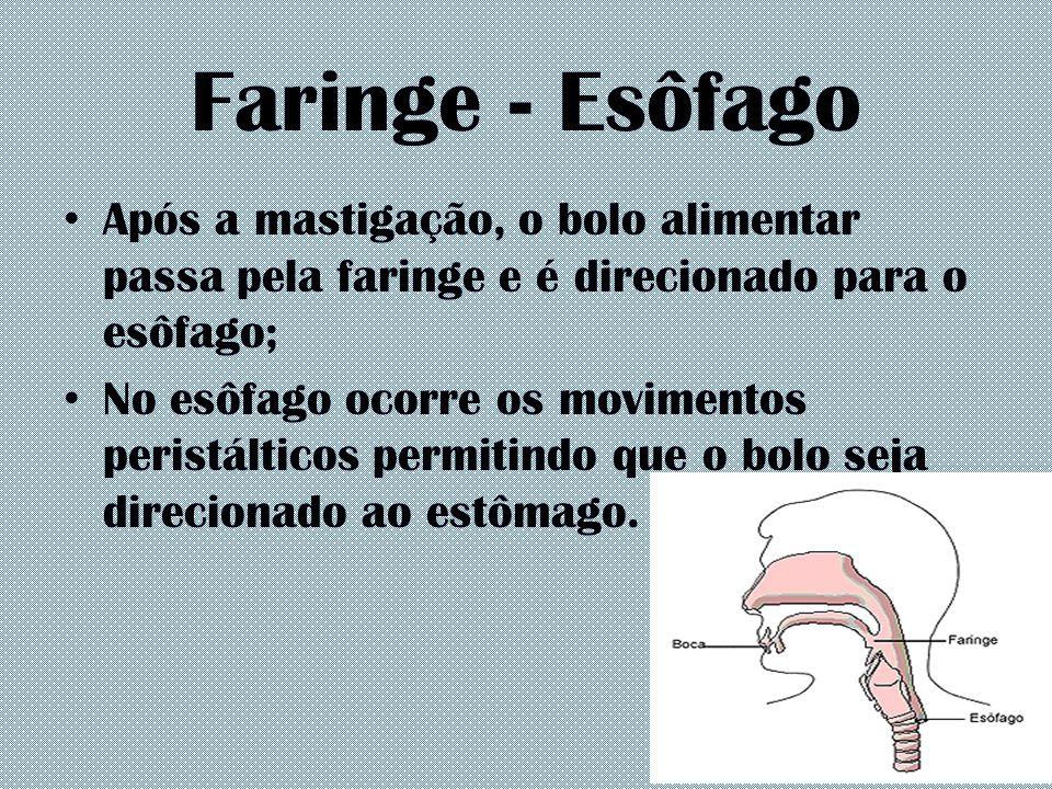 Faringe - Esôfago Após a mastigação, o bolo alimentar passa pela faringe e é direcionado para o esôfago; No esôfago ocorre os movimentos peristálticos