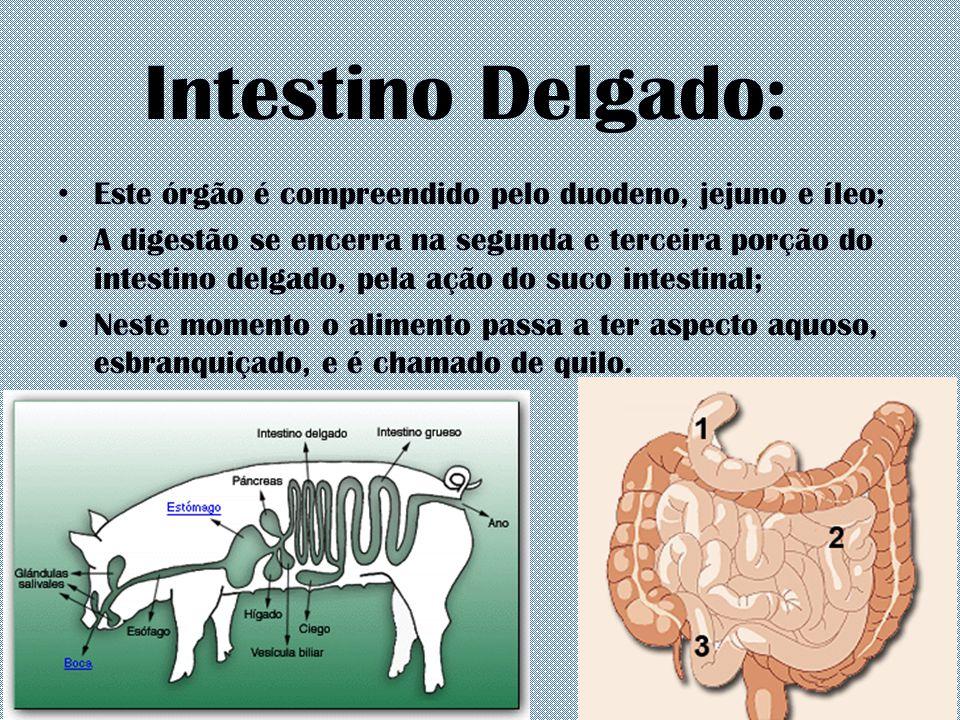 Intestino Delgado: Este órgão é compreendido pelo duodeno, jejuno e íleo; A digestão se encerra na segunda e terceira porção do intestino delgado, pel