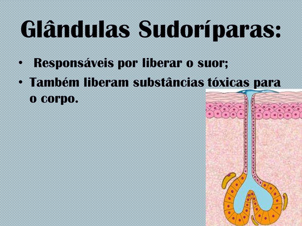 Glândulas Sudoríparas: Responsáveis por liberar o suor; Também liberam substâncias tóxicas para o corpo.