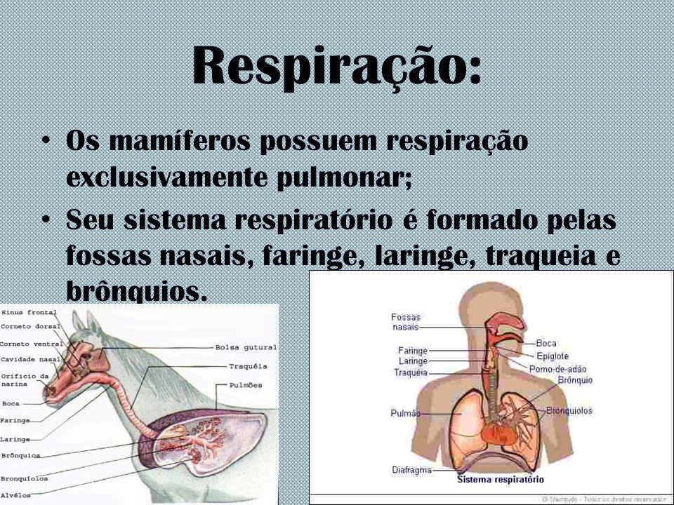 Respiração: Os mamíferos possuem respiração exclusivamente pulmonar; Seu sistema respiratório é formado pelas fossas nasais, faringe, laringe, traquei