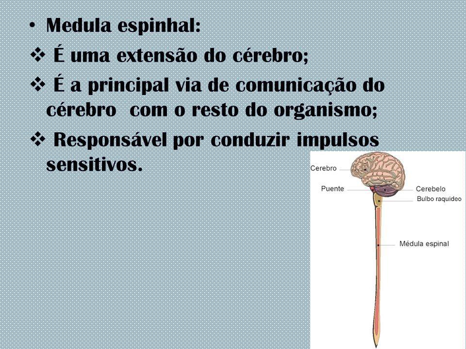 Medula espinhal:  É uma extensão do cérebro;  É a principal via de comunicação do cérebro com o resto do organismo;  Responsável por conduzir impul