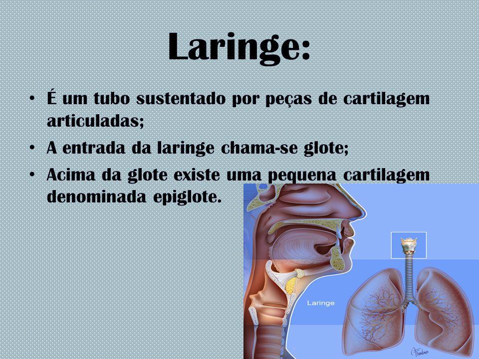 Laringe: É um tubo sustentado por peças de cartilagem articuladas; A entrada da laringe chama-se glote; Acima da glote existe uma pequena cartilagem d