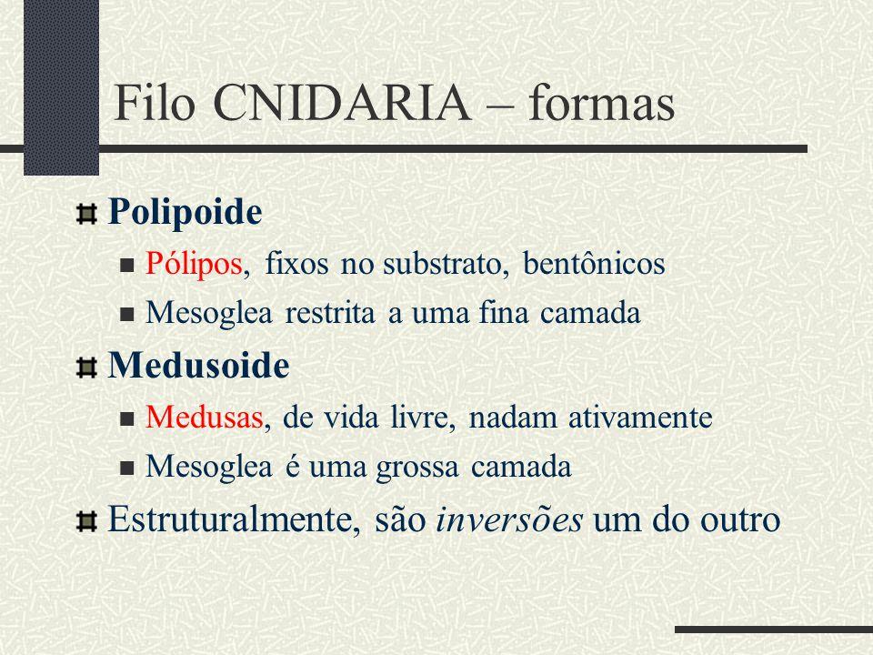 Filo CNIDARIA – formas Polipoide Pólipos, fixos no substrato, bentônicos Mesoglea restrita a uma fina camada Medusoide Medusas, de vida livre, nadam a