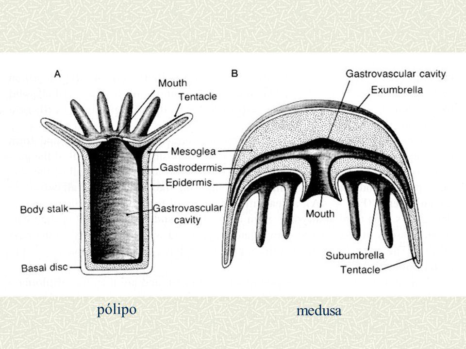 pólipo medusa