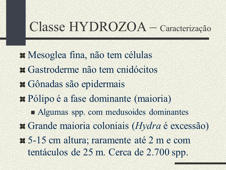 Classe HYDROZOA – Caracterização Mesoglea fina, não tem células Gastroderme não tem cnidócitos Gônadas são epidermais Pólipo é a fase dominante (maior