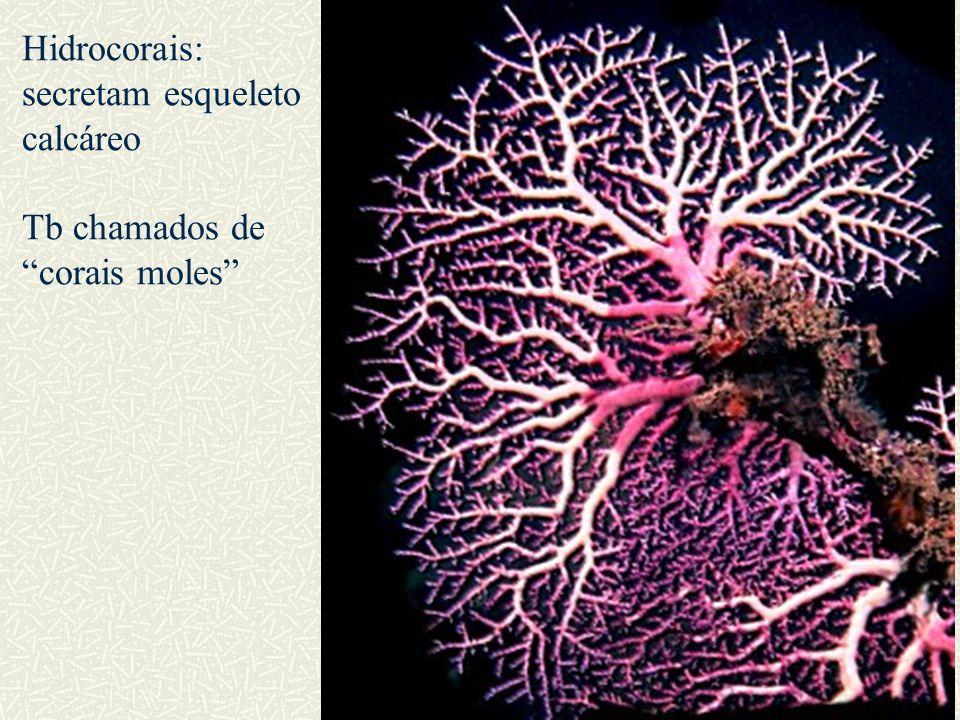 """Hidrocorais: secretam esqueleto calcáreo Tb chamados de """"corais moles"""""""