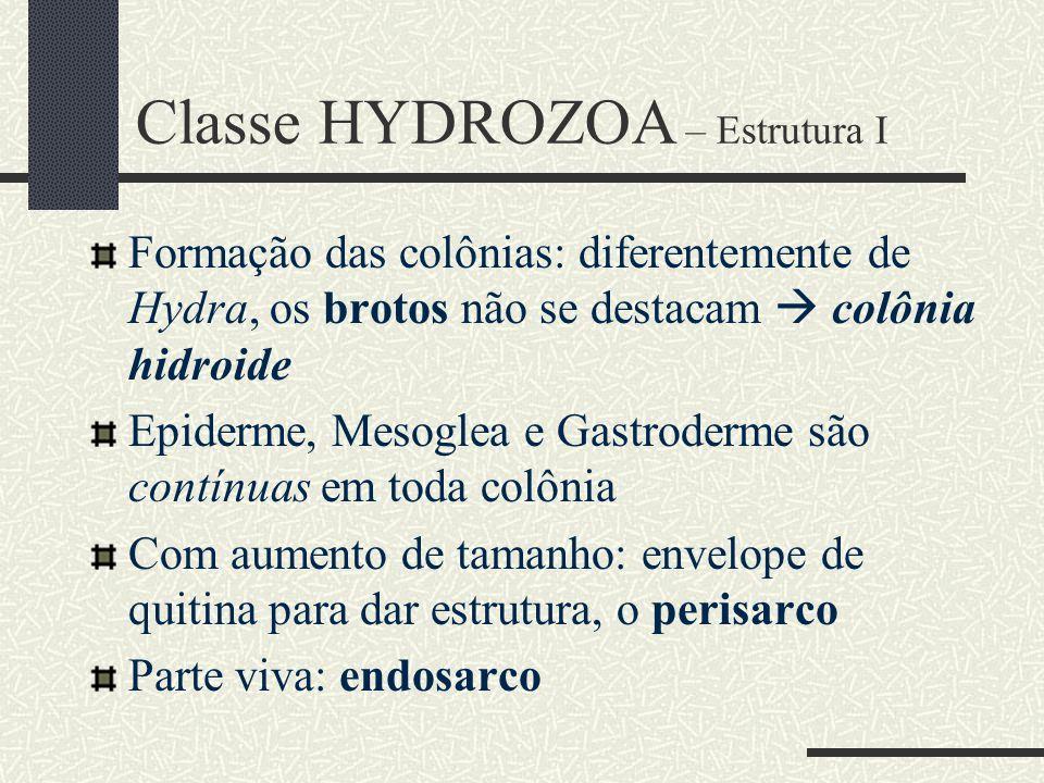 Classe HYDROZOA – Estrutura I Formação das colônias: diferentemente de Hydra, os brotos não se destacam  colônia hidroide Epiderme, Mesoglea e Gastro