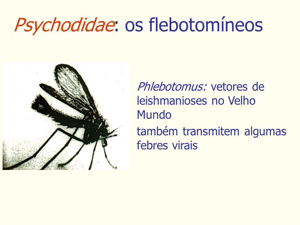 Psychodidae: os flebotomíneos Phlebotomus: vetores de leishmanioses no Velho Mundo também transmitem algumas febres virais