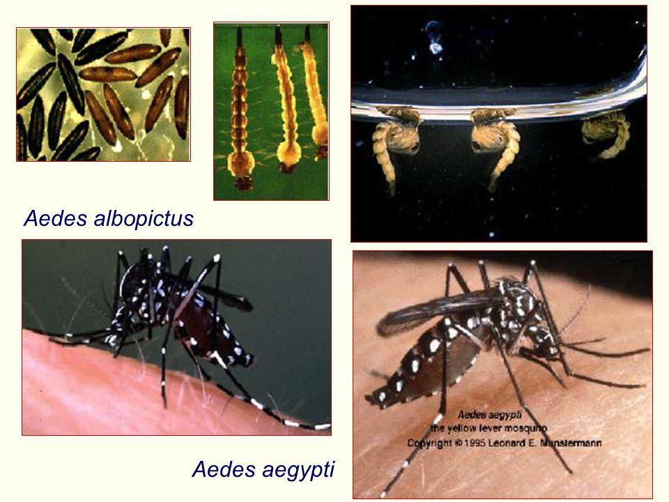 Aedes albopictus Aedes aegypti