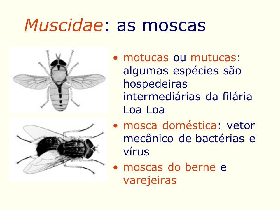 Muscidae: as moscas motucas ou mutucas: algumas espécies são hospedeiras intermediárias da filária Loa Loa mosca doméstica: vetor mecânico de bactérias e vírus moscas do berne e varejeiras
