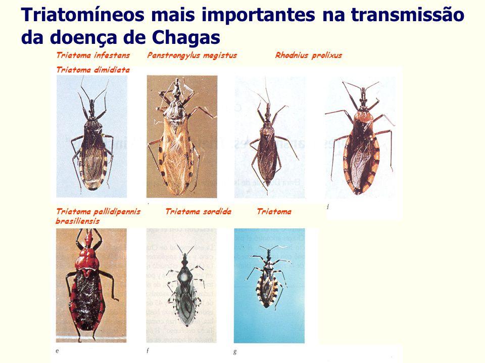 Triatoma infestans Panstrongylus megistus Rhodnius prolixus Triatoma dimidiata Triatoma pallidipennis Triatoma sordida Triatoma brasiliensis Triatomíneos mais importantes na transmissão da doença de Chagas