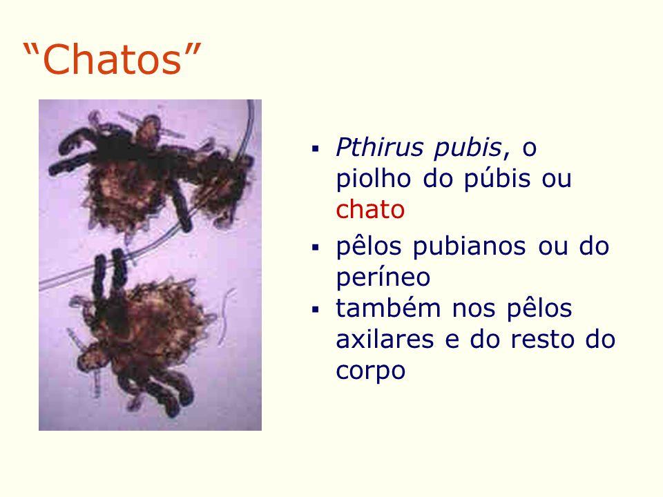 Chatos  Pthirus pubis, o piolho do púbis ou chato  pêlos pubianos ou do períneo  também nos pêlos axilares e do resto do corpo