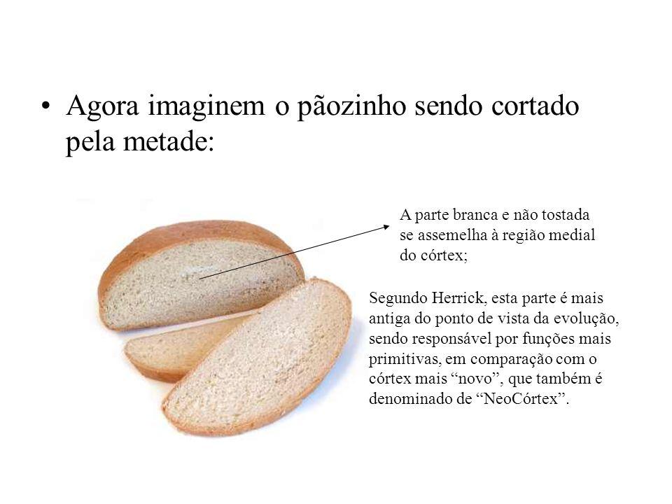 Agora imaginem o pãozinho sendo cortado pela metade: A parte branca e não tostada se assemelha à região medial do córtex; Segundo Herrick, esta parte