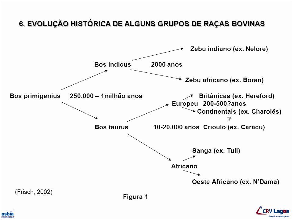6. EVOLUÇÃO HISTÓRICA DE ALGUNS GRUPOS DE RAÇAS BOVINAS Zebu indiano (ex. Nelore) Bos indicus 2000 anos Zebu africano (ex. Boran) Bos primigenius 250.