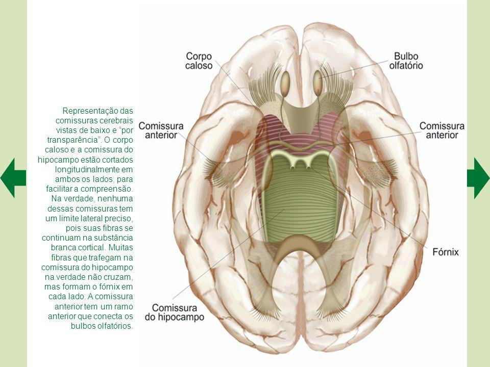 Representação das comissuras cerebrais vistas de baixo e por transparência .