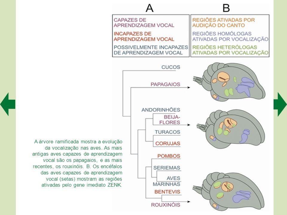 A árvore ramificada mostra a evolução da vocalização nas aves.