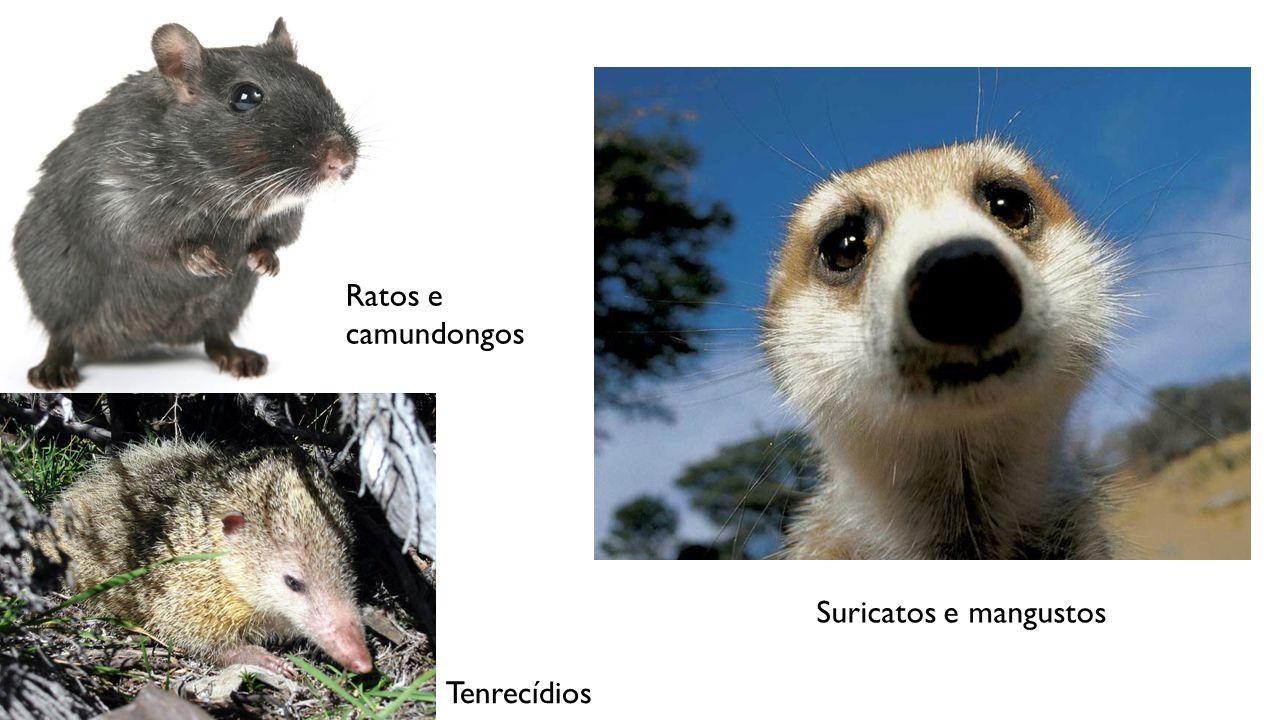 Ratos e camundongos Tenrecídios Suricatos e mangustos