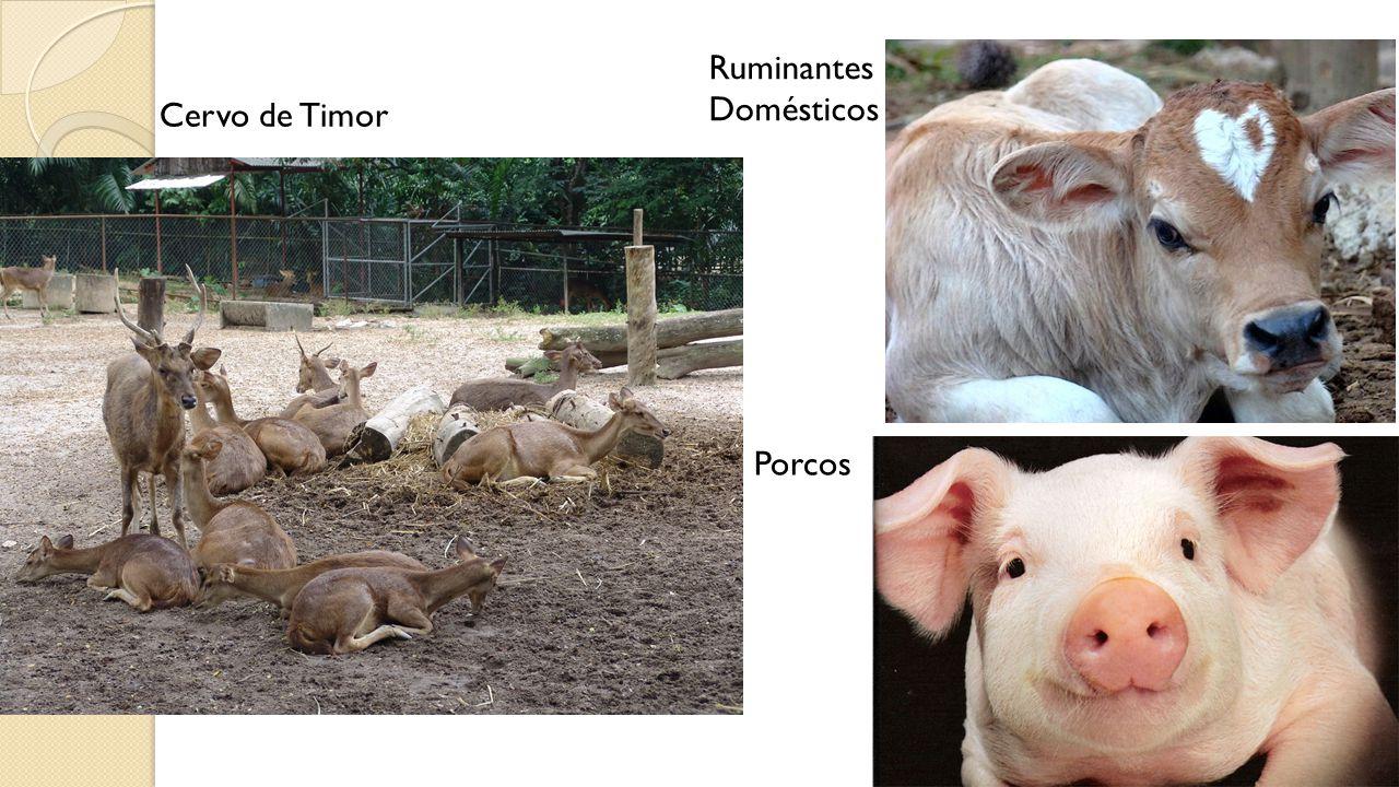 Cervo de Timor Ruminantes Domésticos Porcos